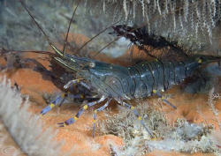Common prawn. Trefor pier. North Wales. D200, 60mm. by Derek Haslam 